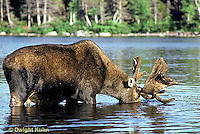MS01-023z  Moose - bull (male) feeding at Sandy Stream Pond in Baxter State Park, Maine - Alces alces