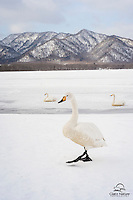 Whooper Swans congregate in Northern Japan during the winter.  This one posed nicely in front of the mountain backdrop and a few of its more sedate brethren.  Japan.