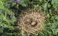 Sturmmöwe, Ei, Eier, Gelege im Nest, Bodennest, Sturm-Möwe, Möwe, Sturmmöve, Larus canus, common gull