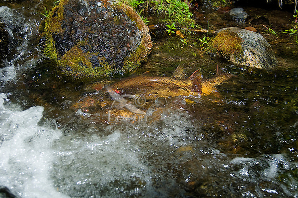 Yellowstone Cutthroat Trout (Oncorhynchus clarkii) in small spawning stream.  June.  Reach maturity at 4 to 5 years. Western U.S.