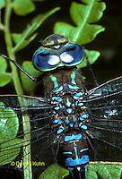 1O06-010a  Black-tipped Mosaic Darner Dragonfly Male - Aeshna tuberculifera