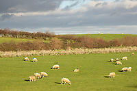 19.11.2020 Ewes grazing in Rutland<br /> ©Tim Scrivener Photographer 07850 303986<br />      ....Covering Agriculture In The UK....