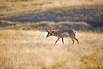 Pronghorn Antelope buck in Montana