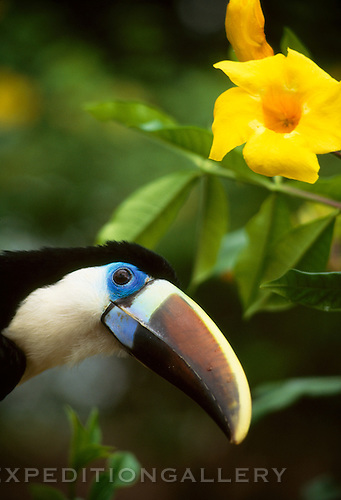 A white-throated toucan (Ramphastos tucanus) beneath an alamanda flower blossom. This colorful species is one of the widest ranging toucan species in the Amazon region of South America.