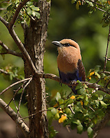 The Blue-bellied Roller, (Coracias cyanogaster) is a member of the roller family of birds which breeds across Africa in a narrow belt from Senegal to northeast Zaire.