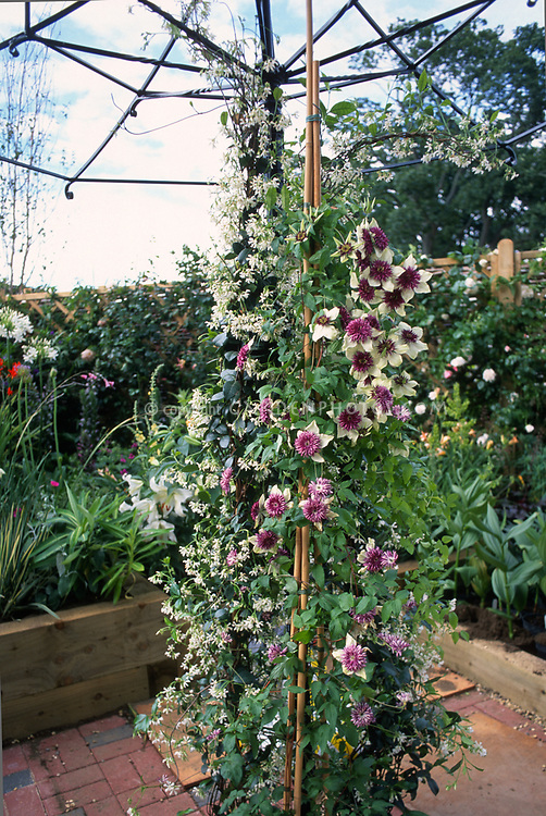 """Clematis florida & Clematis terniflora aka paniculata climbing an """"umbrella"""" trellis on patio, two different climbing vines planted together in container, recycled trellis support from an old broken umbrella"""