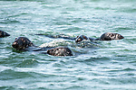 gray seal 4 shot swimming