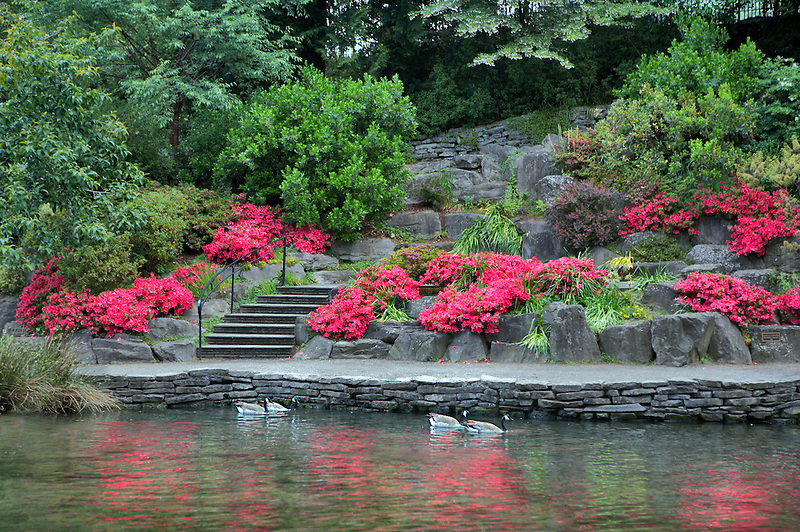 Geese  in pond at Crystal Springs Rhododendron Gardens. Oregon