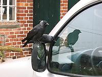 Dohle, auf Außenspiegel eines Autos, Corvus monedula, Jackdaw, Choucas des tours