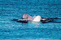 beluga whales, Delphinapterus leucas, Northwest Territories, Canada (Arctic Ocean)