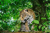 jaguar, Panthera onca (c) Belize, Caribbean, Atlantic, Central America, Caribbean, Atlantic