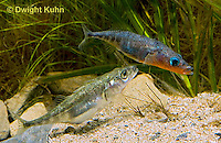 1S48-507z  Threespine Stickleback, male leading gravid female to nest after courtship dance, Gasterosteus aculeatus