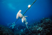 scalloped hammerhead sharks, Sphyrna lewini, caught in shark net illegally set in Galapagos Marine Reserve, Wolf (Wenman) Island, Galapagos Islands, Ecuador, East Pacific Ocean