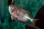 Glasseye Snapper swimming left
