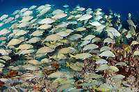So many fish the reef can't be seen.