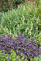 Lupinus arboreus & Salvia officinalis 'Purpurescens'
