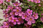 SUTERA CORDATA 'SCOPIA GREAT PINK BEAUTY', BACOPA