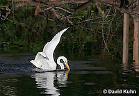0111-0929  Diving Great Egret Hunting for Prey, Diving into Water, Ardea alba  © David Kuhn/Dwight Kuhn Photography
