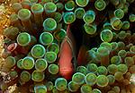 Anemone fish, in green anemone, Anilao, Philippines
