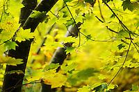 Fall colored vine maple, Grove of the Patriarchs, Mount Rainier National Park, Washington, USA