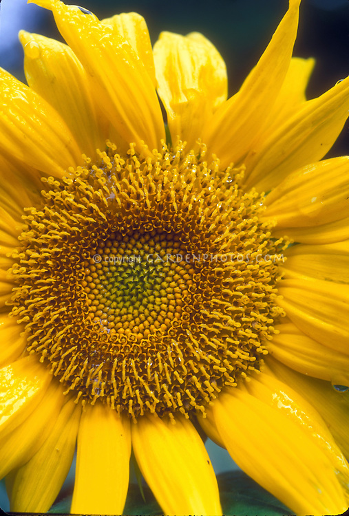 Large Sunflower head Helianthus annuus in bloom in summer