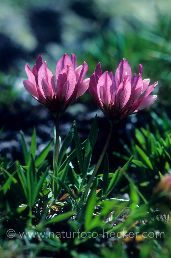 Alpen-Klee, Alpenklee, Westalpen-Klee, Trifolium alpinum, alpine clover