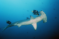 scalloped hammerhead shark, Sphyrna lewini, being cleaned by king angelfish, or passer angelfish, Holacanthus passer, Cocos Island, Costa Rica, Pacific Ocean