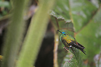 Sapphire-Vented Puffleg (Eriocnemis luciani), adult perched, Quito,Ecuador, Andes, South America