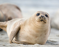 Harbor Seal (Phoca vitulina) hauled out at Children's Pool in La Jolla California