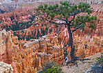 Bryce Canyon National Park, UT:<br /> Pine tree at the edge of the  Bryce Ampitheater