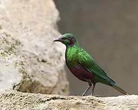 Named for its vibrant colors, the emerald starling has green, iridescent feathers on its chest and wings and purple markings on the belly and around the eyes.