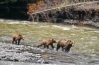 Grizzly Bears--sow with cubs--along river.  Northern Rockies.  Spring.