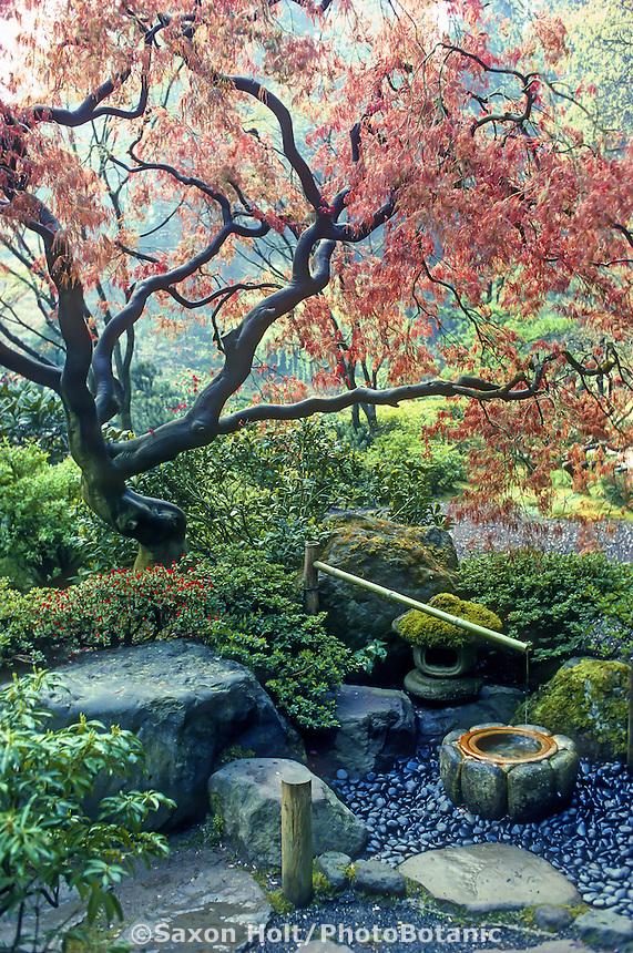 'Deer Scare' under Japanee Maple tree with emerging spring leaves