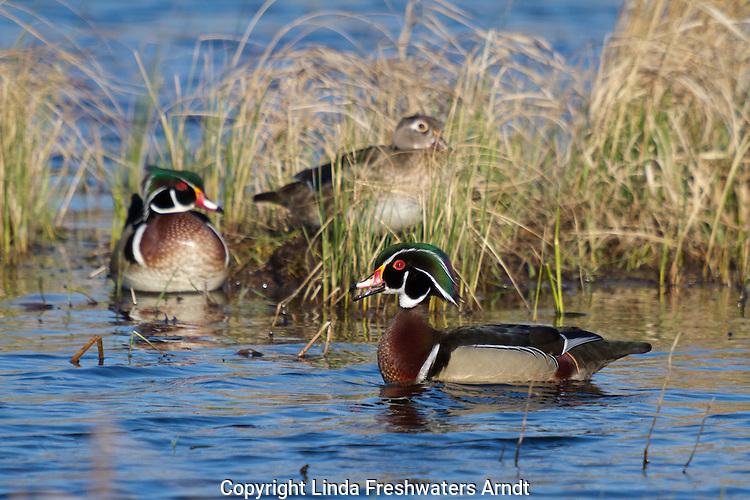Wood ducks in northern Wisconsin.