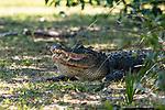American Alligator in the pond, known as Big George, Wakodahatchee wetlands