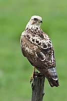 """Krider's"" Red-tailed Hawk perched on a fence post"