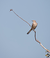 Northern Mockingbird perched on a branch looking up toward a dragonfly perched on the same branch