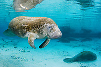 Florida Manatee, Trichechus manatus latirostris, A subspecies of the West Indian Manatee.Three Sisters Springs. Crystal River, Florida.