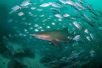 grey nurse shark or sand tiger shark, Carcharias taurus, and schooling white trevally or striped jacks, Pseudocaranx dentex, Julian Rocks, Byron Bay, New South Wales, Australia, South Pacific Ocean