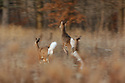 00275-194.11 White-tailed Deer (DIGITAL) Three does show motion blur as they bound with tails raised across meadow.  Hunting.  H2A1