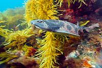 Australian Swellshark