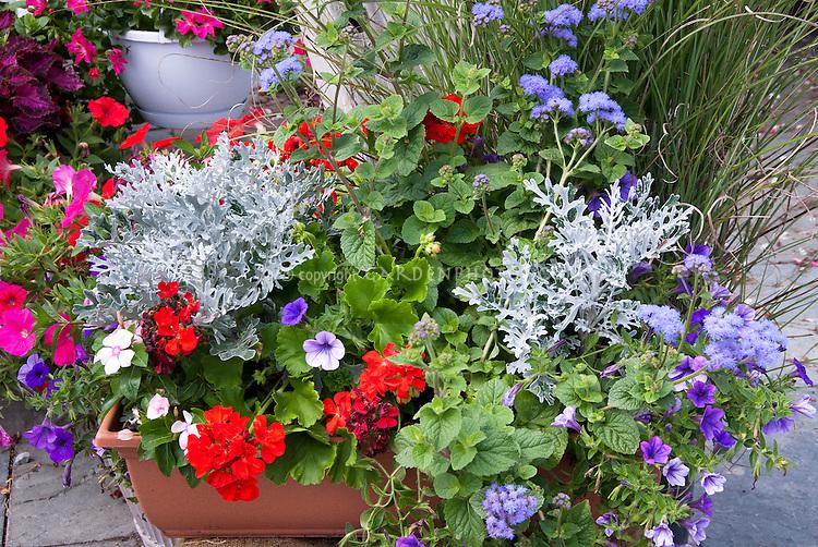Container garden of annual flowers and foliage, red bloomed Geranium Pelargonium, Senecio Dusty Miller, Petunia, annual vinca, ageratum in pot planter in red, white, blues colors
