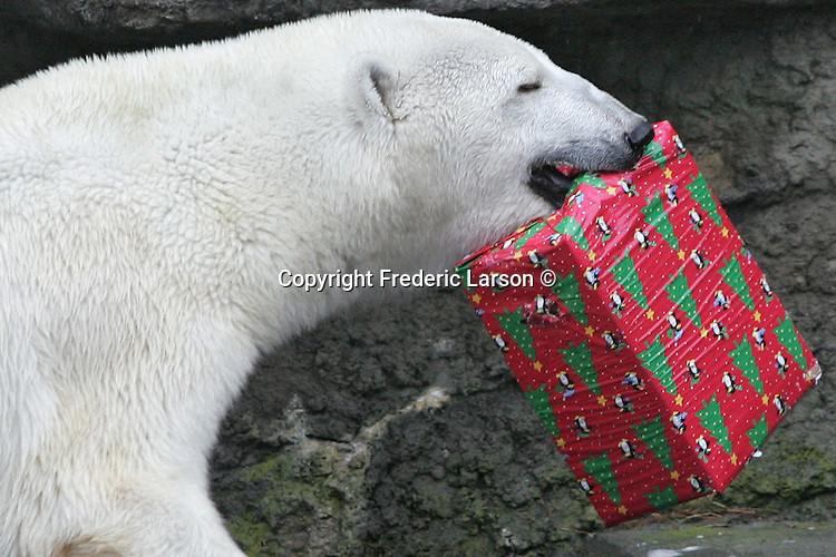 This annual presentation has become a tradition as animals such as the chimpanzees eagerly await their opportunity to open their holiday stockings stuffed with edible treats at the San Francisco Zoo.