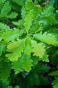 Sessile oak (Quercus petraea), new spring foliage, early May.