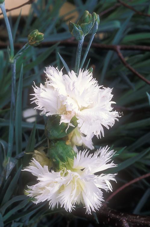 Dianthus 'Mrs Sinkins', heirloom variety of old-fashioned garden pink