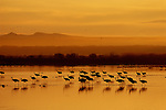 In the golden morning light, sandhill cranes wade in water on the Bosque Del Apache National Wildlife Refuge.