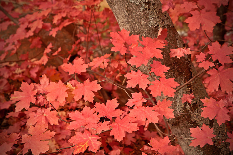 Vibrant red big tooth maple leaves (Acer grandidentatum) in West Fork of the Oak Creek canyon near Sedona
