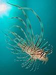 Close up view of Lionfish (Pterois volitans), Gorontalo, Indonesia
