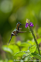 Wire-crested Thorntail (Discosura popelairii), male hovering at a flower in montane rainforest, Manu National Park, Cusco, Peru.