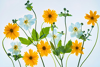 Close up of flower arrangement. Daisies and blue anemone